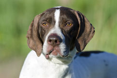 English Pointer bird dog. Female brown and white English Pointer bird dog. Walton County Animal Control Shelter photography, humane society, outdoor pet Stock Images