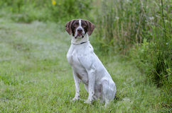 English Pointer bird dog Royalty Free Stock Photography