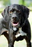 English pointer dog stock photo