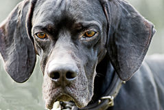 English pointer dog stock photography