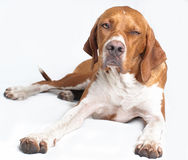 English pointer dog Royalty Free Stock Photo