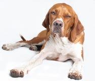 English pointer dog Royalty Free Stock Photo