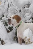English Pointer dog in snow. Closeup of English Pointer dog with snow covered trees in background, Winter scene Stock Photos