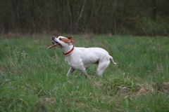 English Pointer dog with stick. Close up of white English Pointer dog carrying stick in countryside field Stock Images