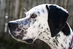 English Pointer Headshot Royalty Free Stock Photography