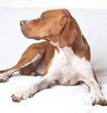 English Pointer (hunter dog) stock images