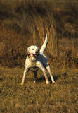 English Pointer Hunting. An english setter on a great point Stock Photo