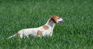 English pointer hunting Royalty Free Stock Images