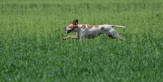 English pointer hunting Royalty Free Stock Image
