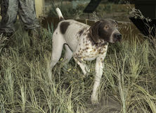 English Pointer. An English Pointer hunting dog in it's pointing stance Stock Photo