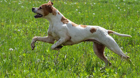 English pointer jumping Royalty Free Stock Photo