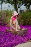 English pointer mix phenotype dog Stock Photography
