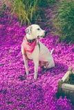 English pointer mix phenotype dog Royalty Free Stock Photos