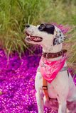 English pointer mix phenotype dog Royalty Free Stock Photography