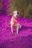 English pointer mix phenotype dog Stock Photo