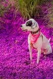 English pointer mix phenotype dog Stock Photos