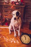 English pointer in the New Year`s room Stock Photography