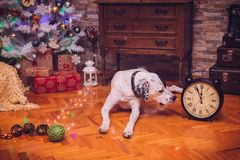 English pointer in the New Year`s room 1 Royalty Free Stock Images