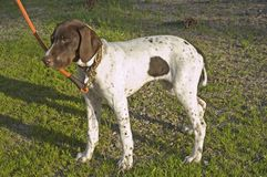 English Pointer puppy Stock Photos