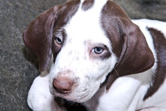 English Pointer Puppy Royalty Free Stock Photo