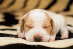 English Pointer puppy royalty free stock image
