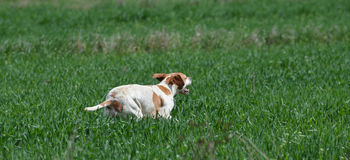 English pointer running royalty free stock images