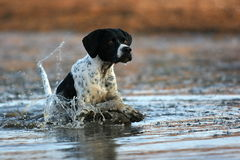 English pointer running