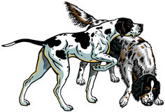 English pointer and setter Stock Photography