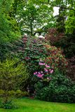 English Public Garden at late Spring with Blooming Rhododendrons royalty free stock photography