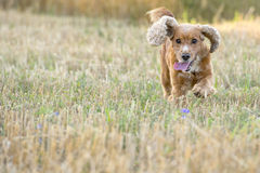 English puppy cocker spaniel running to you Royalty Free Stock Images