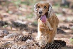 English puppy cocker spaniel running Stock Photo