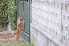 English puppy cocker spaniel standing over metallic fench Royalty Free Stock Photos