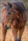 English purebred horse. Stock Photos