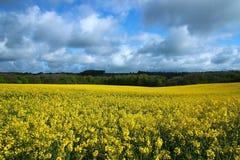 English Rapeseed Field Stock Image