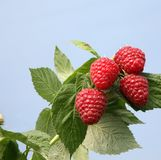 English Raspberries (with space for text) Stock Photography