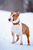 English red bull terrier Royalty Free Stock Image
