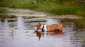 English red bull terrier in the lake with a flower Royalty Free Stock Image