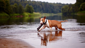 The English red bull terrier plays with a stick in the river Stock Photos