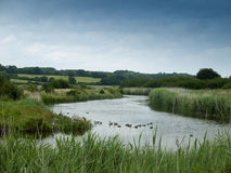 An english river scene landscape lake with ducks and a sheep gra Royalty Free Stock Images
