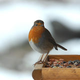 English Robin. Little English Robin, feeding from the seed on the bird table. The background is snow, hence the bright Royalty Free Stock Images