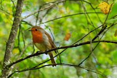 English Robin on a branch Royalty Free Stock Image