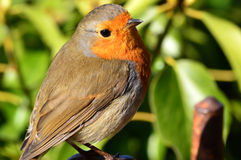 English Robin Stock Image