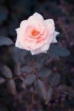 English rose Royalty Free Stock Images