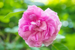 English rose on the green background, closeup Stock Image