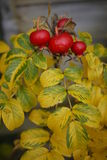 English rose hip in autumn colour with yellow leaves Stock Image