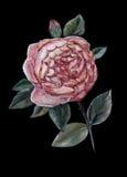 An English rose Royalty Free Stock Photo