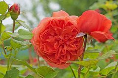 English Rose red-orange color in rose garden close-up. English Rose`Summer Song` - bred by David Austin. Red-orange color royalty free stock photo