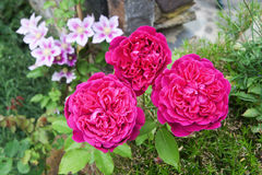 English roses and clematis Stock Photo