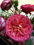 English Roses Pink (2) Royalty Free Stock Images
