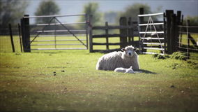 English rural farm scene, lamb and ewe. Video footage of a tranquil English rural farm scene with a ewe (female mother sheep) resting in the warmth of the spring stock footage
